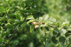 Pear. Two organic pear on branch in green background Royalty Free Stock Photos