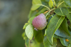 Pear up the tree Stock Images