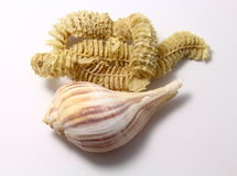 Pear whelk mother and child reunion Stock Photo