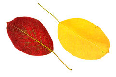 Pear yellow and red leaves Stock Photo