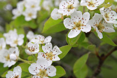 PearBlossoms Stockfoto