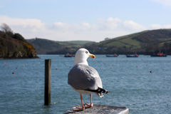 Pearching seagull. A singal seagull perched upon a post with the inlet bay at Salcombe in Devon visible in the background Royalty Free Stock Photo