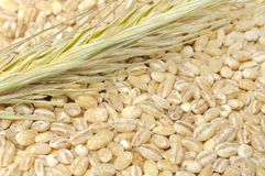Pearl Barley with Ear. A close-up shot of pearl barley with an ear of barley royalty free stock images