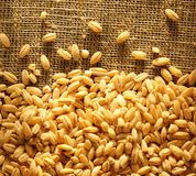 Pearl barley on sack Stock Photography