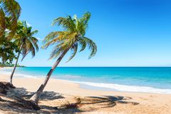 Pearl beach , Guadeloupe, French West Indies. Coconut trees, golden sand, turquoise water and blue sky, pearl beach , Guadeloupe, French West Indies royalty free stock photography