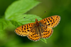 Pearl Bordered Fritillary Royalty Free Stock Photography