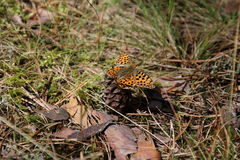 Pearl Bordered Fritillary, Boloria eufrosyne stock photos