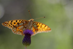 Pearl-bordered fritillary Royalty Free Stock Images