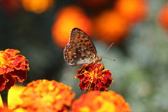 Pearl-bordered Fritillary Butterfly Royalty Free Stock Photography