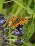 Pearl-bordered Fritillary Butterfly. Boloria euphrosyne Royalty Free Stock Images