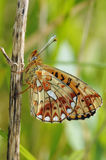 Pearl-bordered Fritillary Butterfly Stock Image