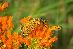 Pearl crescent butterflies on milkweed plant. Closeup of two pearl crescent butterflies feed on a milkweed plant. Image taken in Junction City, Kansas, on June royalty free stock photo