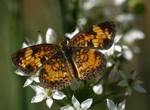 Pearl crescent butterfly. A pearl crescent in late summer Stock Image