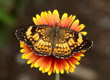 Pearl crescent butterfly. Attracted to a butterfly garden Royalty Free Stock Image
