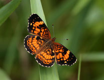 Pearl crescent butterfly. In spring colors Stock Photo