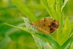 A pearl crescent butterfly Stock Image