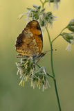 Pearl crescent butterfly Stock Image