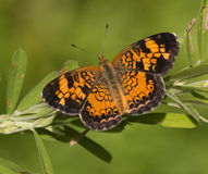 Pearl Crescent Butterfly Stock Images
