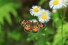 Pearl Crescent Butterfly on Daisy. Pearl Crescent Butterfly sitting on a daisy Stock Photo