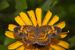 Pearl Crescent butterfly feeding on a Black-Eyes Susan flower Stock Photo