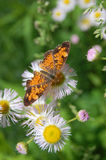 Pearl Crescent Butterfly Stock Photography