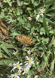 Pearl Crescent Butterfly. The Pearl Crescent, is native to North America. It is found in all parts of the United States except the west coast. It`s habitat is Stock Images
