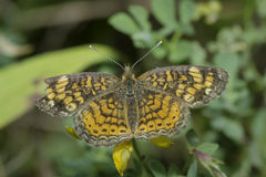 Pearl Crescent Butterfly Stock Photo