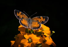 Pearl Crescent Butterfly (phyciodes tharos) Stock Photo