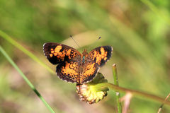 Pearl Crescent Butterfly Royalty Free Stock Photo