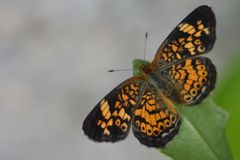 Pearl Cresent butterfly Royalty Free Stock Photo