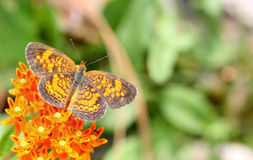 Pearl Cresent Fritillary. A Beautiful Pearl Cresent Fritillary Butterfly feeding on a Flower royalty free stock image