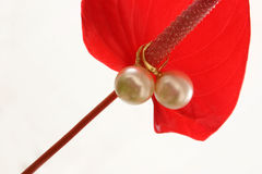 Pearl Earrings on Anthurium. Set of dangling South Sea pearl earrings on fresh red anthurium flower. The Anthurium genus contains more than 500 species Stock Images