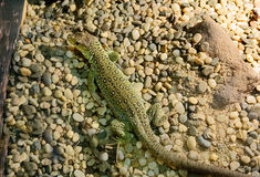 Pearl embellished lizard. Lizard pearl or mottled.Very beautiful lizards. Lizards have brown color with lots of white and blue circles with a black circle border Stock Photos