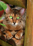 Pearl Eyes. A Bengali special breed kitten with huge pearly green eyes, sitting on a garden bench Royalty Free Stock Image