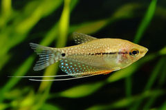 The pearl gourami Stock Photography
