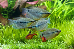 Pearl gourami and bloody tetras Royalty Free Stock Photo