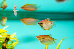 Pearl gourami Stock Photography