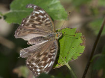 Pearl great forest (lat. Concern argynnis paphia). Day butterfly from a family of nymphalids Royalty Free Stock Photos