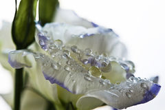 Pearl/lilac rose flower petals with drops of water on. Closeup Royalty Free Stock Photography