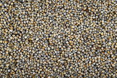 Pearl millet (Bajra). Royalty Free Stock Images
