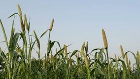 Pearl millet field stock video footage