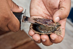 Pearl oyster. From Bahrain gets opened Stock Photos