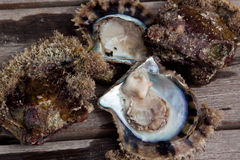 Pearl oyster. Open pearl oyster from Bahrain Stock Photos