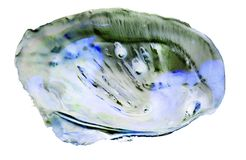 A pearl oyster Stock Photography