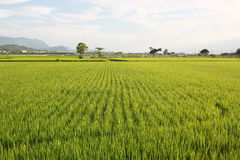 Pearl Rice and wheat Farm at Mr Brown Avenue in Tai Tung. In Summer, harvest time Royalty Free Stock Photography