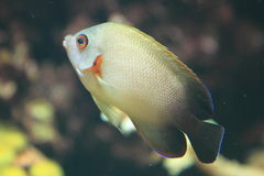 Pearl-scaled angelfish Stock Photo