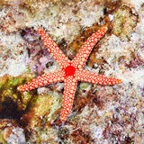 Pearl sea star Royalty Free Stock Image