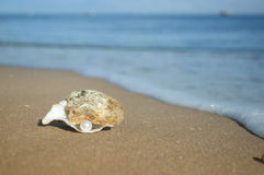 Pearl in the shell Stock Images