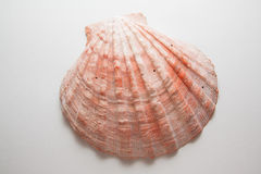 Pearl shell Stock Photography