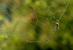 Pearl spider web. The dew congeals in the spider web Royalty Free Stock Photos